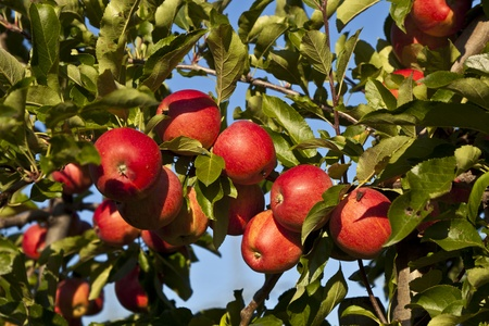 ripe apples on a tree branch against blue sky Stock Photo