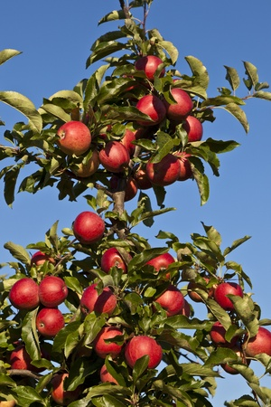 tree farming: ripe apples on a tree branch against blue sky Stock Photo