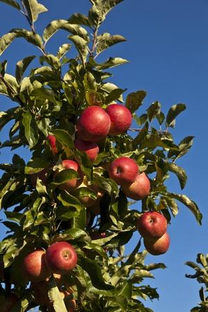 arbol de manzanas: manzanas maduras en una rama de un �rbol contra el cielo azul