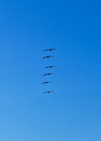 pelicans flying in formation in vertical organisation photo