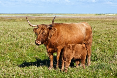 Highland cow with young calf standing in the meadow photo