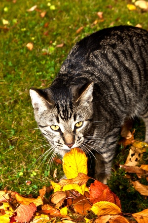 catnip: cute cat  has fun in the garden in autumn colors