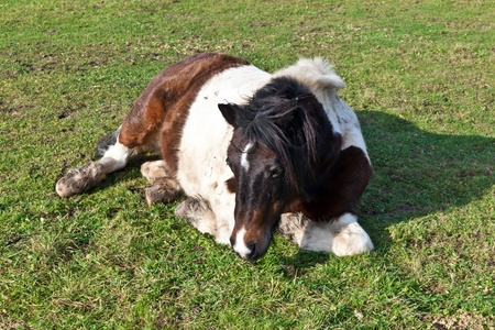 Horse lying on a meadow photo