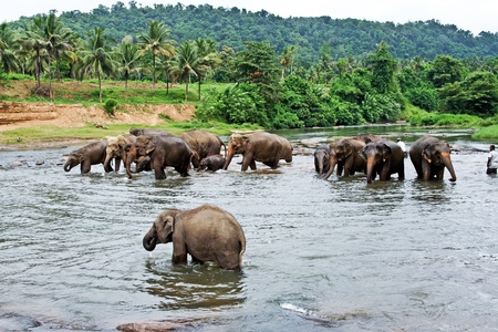 elephants take a bath in the river  in the wilderness near Pinnawela photo