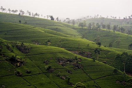 ceylon: green tee terrasses in the highland from Sri Lanka in folk mit Teeplantagen in fog near nuwara Eliya
