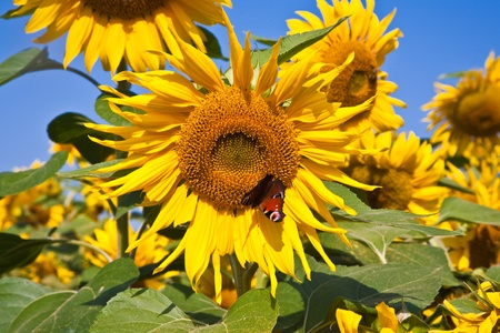 butterfly in a sunflower blossom, sunflowerfield in bright sun Banque d'images
