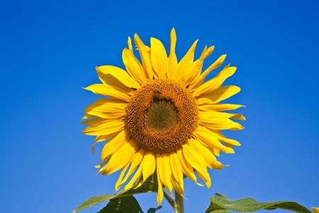 wasp in a sunflower blossom, sunflowerfield in bright sun