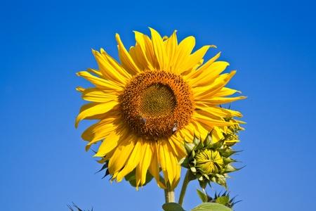 sunflower blossom in the sunflowerfield in bright sun