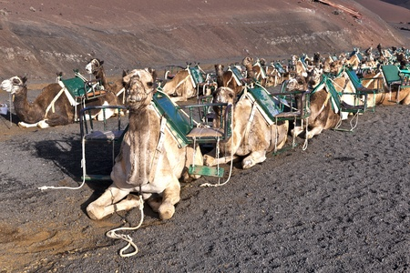 camels in volcanic area in Lanzarote photo