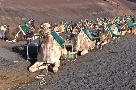 lanzarote: kamelen in vulkanische gebied in Lanzarote