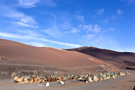 camels in volcanic area in Lanzarote Stock Photo - 9222144