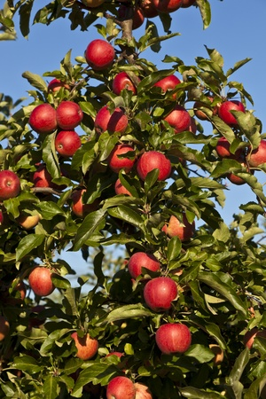 apple tree: ripe apples on a tree branch against blue sky Stock Photo