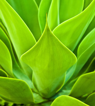 Agave plant in natural sunlight Stock Photo - 9219058