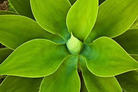 agave: Planta de agave en luz natural Foto de archivo