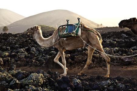 timanfaya: Caravana de camellos en suspensi�n regresar a casa en el establo en el Parque Nacional de Timanfaya