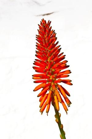 aloe vera flowers: beautiful Aloe Vera flower with white background Stock Photo