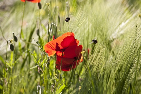 beautiful colorful meadow with poppy flowers in detail photo