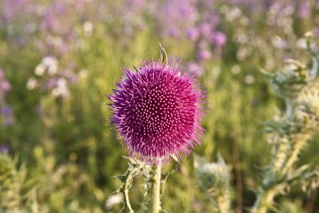 beautiful violet flower in the meadow Stock Photo - 9261862
