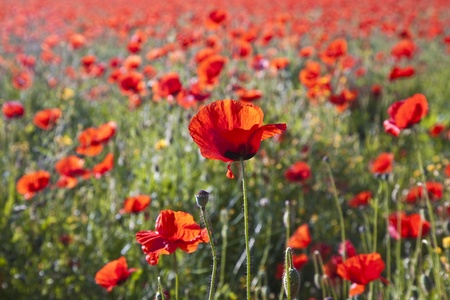 colorful red poppy flowers in the meadow in beautiful impressionistic light photo
