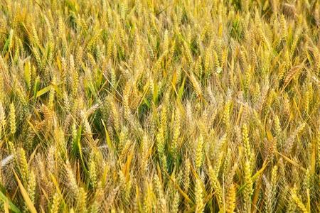 spica: campo de ma�z dorado con la espiga en detalle