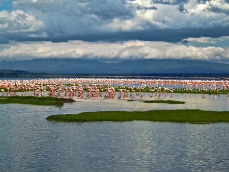 pink flamingos at the Lake in Kenya photo
