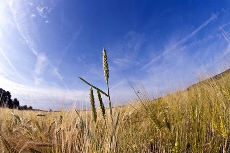 spica: espiga de trigo en el campo de ma�z