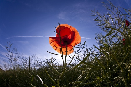 poppy flower in meadow in morning light Stock Photo - 9286052