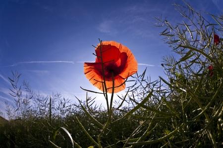 poppy flower in meadow in morning light photo