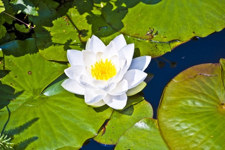 Japanese white lotus water lily in lake Stock Photo - 9286301