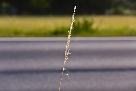 spica: espiga de ma�z con calle como fondo