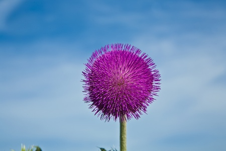 thistle in meadow in morning light photo
