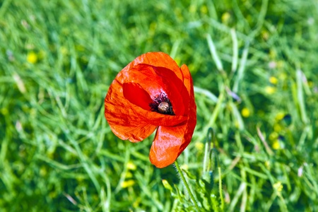 beautiful red poppy flowers in the meadow in morning light photo