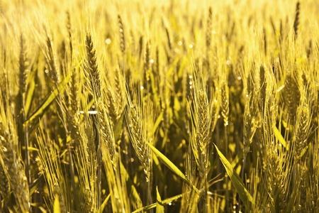 spica: espiga de oro de ma�z en acre en la luz de la ma�ana