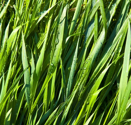 Green wheat grass with dewdrops in the morning photo