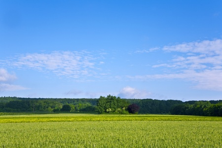 acres: landscape with acres,corn and white clouds at the sky