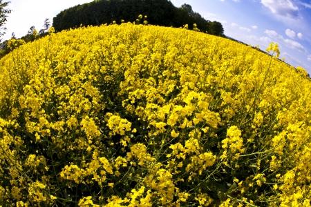 beautiful yellow rape field in spring photo