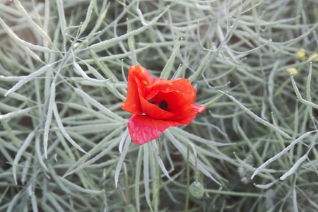 red poppy flowers on the meadow photo