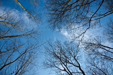 white birch tree: tree crowns in spring without leaves on deep blue sky