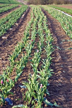 Tulips in freshly plowed field Stock Photo - 9290983