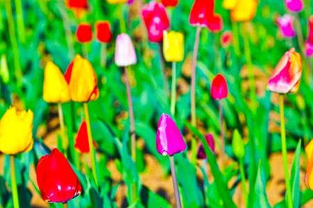 Spring field with blooming colorful tulips Stock Photo - 9298508
