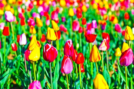Spring field with blooming colorful tulips Stock Photo - 9298591