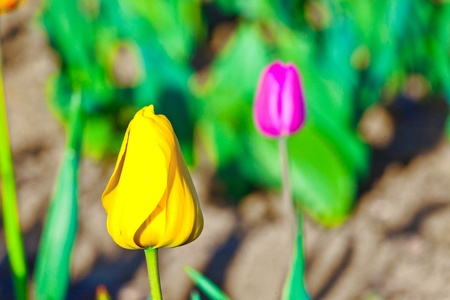 Spring field with blooming colorful tulips Stock Photo - 9298565