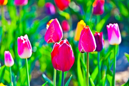 Spring field with blooming colorful tulips Stock Photo - 9298590