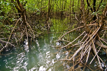 beautiful Mangrove Forest in sunlight