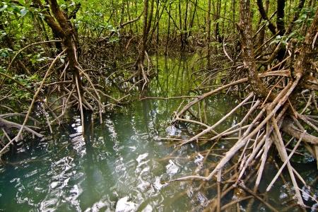 mooie Mangrove Forest in zonlicht Stockfoto