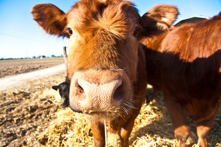 stock breeding: mouth of friendly cattle on straw with blue sky Stock Photo