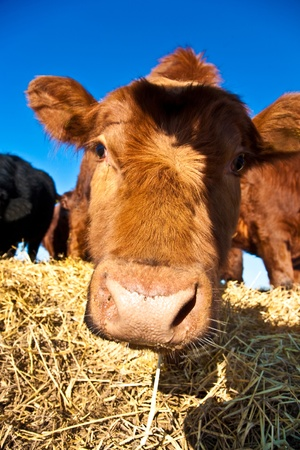 mouth of friendly cattle on straw with blue sky photo