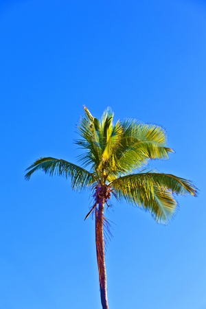 crown of palm tree with blue sky Stock Photo - 9324956