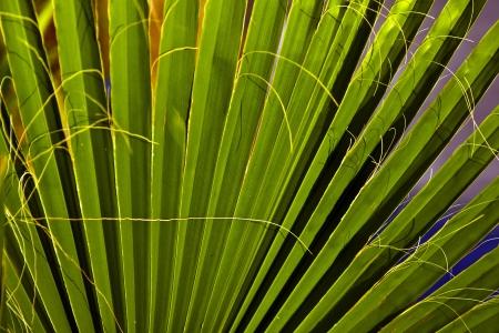 perspectiva lineal: textura de hoja de Palma hermosa en la puesta de sol