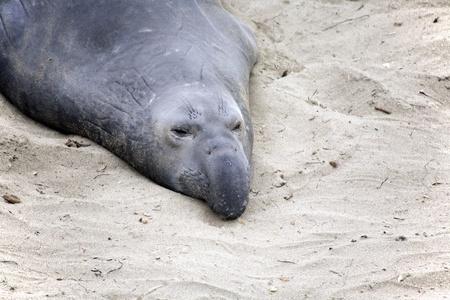 meeting place: male Seelion at a meeting place, beach of San Simeon, California